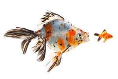 Goldfish, big fish hunting for small fish Royalty Free Stock Photo
