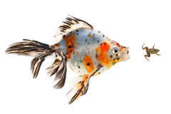 Goldfish, big fish hunting for a small frog, on white background Royalty Free Stock Image