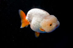 A goldfish. With a big head Royalty Free Stock Images
