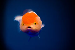 A goldfish. With a big head Royalty Free Stock Photo