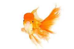 Goldfish with the big tail Royalty Free Stock Images