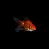 Goldfish on black background. Isolated goldfish on black background royalty free stock image