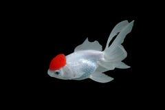 Goldfish. On black background Stock Photography