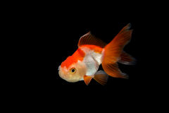Goldfish Royalty Free Stock Images
