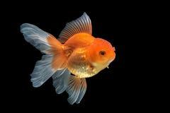 Goldfish Stock Image