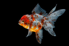 Goldfish Royalty Free Stock Images