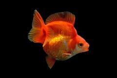 Goldfish on black background Royalty Free Stock Photo
