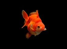 Goldfish on black background Royalty Free Stock Photography