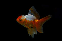 Goldfish on black background Royalty Free Stock Photography