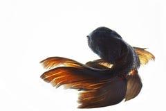 Goldfish Royalty Free Stock Image