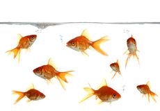 Goldfish Blowing Bubbles Stock Photography