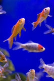 Goldfish with a blue background. A selection of goldfish in a tank against a blue background, taken in vertical format Royalty Free Stock Image