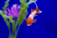 Goldfish with a blue background. A red and white goldfish in a tank with a pink flower against a blue background Stock Photography