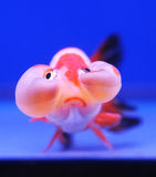 Goldfish on blue background Stock Image
