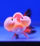 Goldfish on blue background Stock Image
