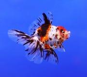 Goldfish on blue background Stock Photo