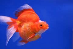Goldfish on blue background Stock Images