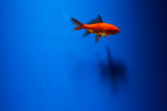 A goldfish on blue Royalty Free Stock Image