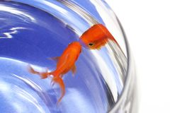 Goldfish in bocal Royalty Free Stock Images
