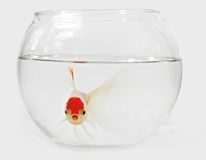 Goldfish in bocal Royalty Free Stock Photography