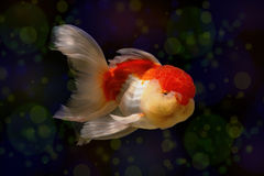 Goldfish with bokeh effect colorful beauty Royalty Free Stock Photo