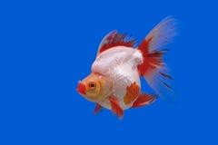Goldfish bonito fotografia de stock