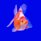 Goldfish bonito imagens de stock
