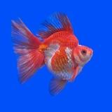 Goldfish bonito fotos de stock royalty free
