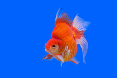 Goldfish bonito fotos de stock