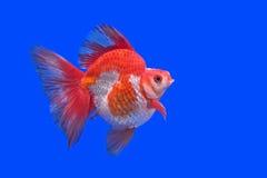 Goldfish bonito imagem de stock