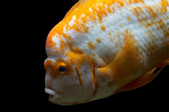 Goldfish bonito Foto de Stock