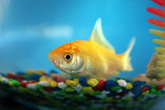 Goldfish in a bowl. A goldfish with shot tail Stock Photography