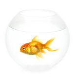 Goldfish in a bowl Stock Photography