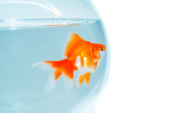 Goldfish in the bowl Royalty Free Stock Images