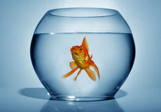 Goldfish in bowl. On blue background, close up stock image