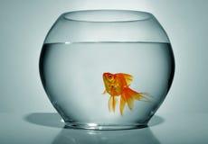 Goldfish in bowl royalty free stock photo