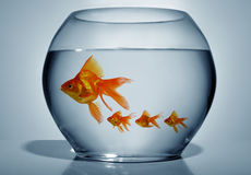 Goldfish in bowl. Close up of goldfish in bowl on blue background royalty free stock photos