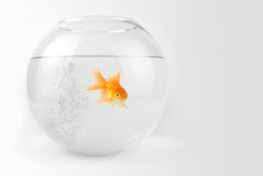 Goldfish in the bowl Stock Photography