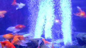 Goldfish bowl veiltail exotic. The goldfish bowl veiltail exotic stock video footage