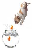 Goldfish branchant suivant de chiot dans un Fishbowl photographie stock
