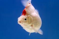 Goldfish branco de Ryukin Fotografia de Stock