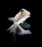 Goldfish branco no fundo preto Foto de Stock Royalty Free