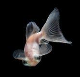 Goldfish branco no fundo preto Fotos de Stock Royalty Free