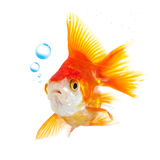 Goldfish and bubbles Stock Image