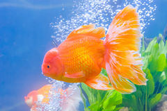 Goldfish in the cabinet. The goldfish in the water, in the cabinet Royalty Free Stock Images