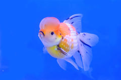 Goldfish in the cabinet Stock Photo