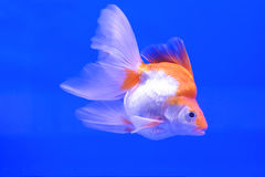 Goldfish in the cabinet Stock Photography