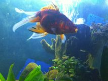 Veil tail goldfish callico swim special and yawns Stock Photography