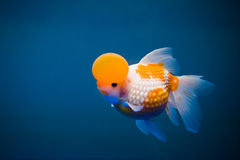 A goldfish. With a cap Royalty Free Stock Image