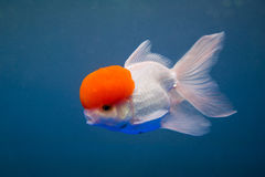 A goldfish. With a cap Stock Images